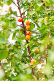 Ripe apricots growing on a branch Stock Images