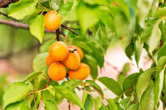 Ripe apricots growing on a branch Stock Photos