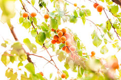 Ripe apricots growing on a branch Stock Photography