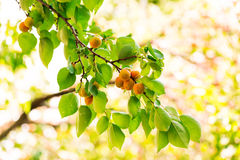 Ripe apricots growing on a branch Royalty Free Stock Photos