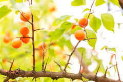 Ripe apricots growing on a branch Stock Image