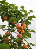 Ripe apricots hanging on the tree . Tuscany, Italy Stock Photo