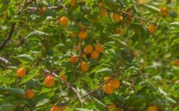 Ripe apricots. A large type of fruit. stock photography