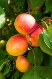 Ripe apricots Stock Photos