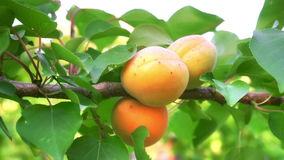 Ripe apricots in orchard stock video footage