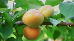 Ripe apricots in orchard stock footage