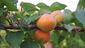 Ripe apricots in orchard stock video