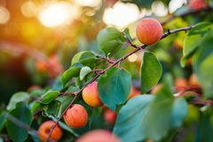 Ripe apricots with sunlight in the background royalty free stock images