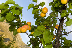 Ripe apricots on tree Stock Photos