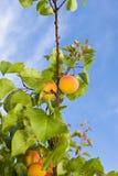 Ripe apricots on tree Stock Photos