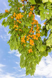 Ripe apricots on tree against the sky Stock Photo