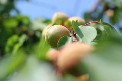 Ripe Apricots On A Tree Branch. Ripe summer apricots on branches Stock Photo