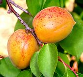 Ripe apricots on a tree branch Royalty Free Stock Images