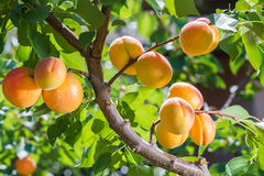 Ripe apricots Royalty Free Stock Images