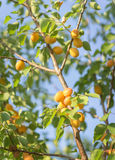 Ripe apricots on a tree Stock Photography