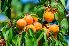 Ripe apricots on a tree branch stock photo