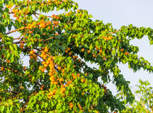 Ripe apricots on tree Royalty Free Stock Image