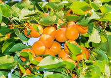 Ripe apricots on tree Stock Photography