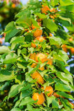Ripe apricots on tree Royalty Free Stock Photography