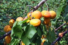Ripe apricots on a tree branch Stock Image
