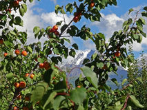 Ripe apricots on the tree with snowy mountain on the background stock photos
