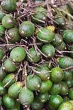 Ripe areca-nut Stock Image