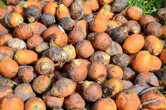 Ripe areca nut kept for drying Royalty Free Stock Photos