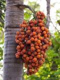 Ripe Areca Nut Palm Stock Photo