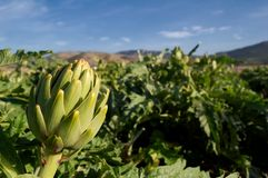 Ripe artichokes Stock Photo