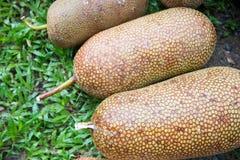 Ripe artocarpus integer from garden Royalty Free Stock Image