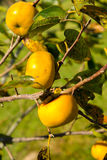 Ripe asian persimmon on a tree Royalty Free Stock Images
