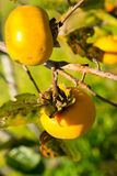 Ripe asian persimmon on a tree Royalty Free Stock Image