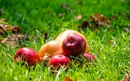 Ripe autumn apples and a yellow pumpkin. Scenery for Halloween royalty free stock photography