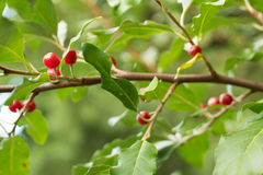 Ripe Autumn Olive Berries (Elaeagnus Umbellata) Royalty Free Stock Images