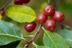 Ripe Autumn Olive Berries (Elaeagnus Umbellata) Stock Images