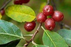 Ripe Autumn Olive Berries (Elaeagnus Umbellata) stock images