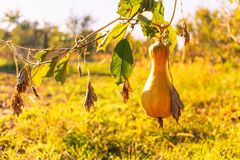 Ripe autumn pumpkin in a rustic vegetable garden. Sunny autumn evening in the village stock photography