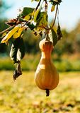 Ripe autumn pumpkin in a rustic vegetable garden. Sunny autumn evening in the village royalty free stock photo
