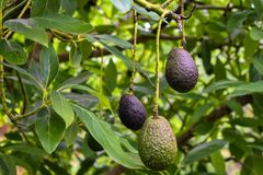 The avocado in the avocado farm. Ripe avocados grow on the tree in the avocado farm near Auckland royalty free stock photo