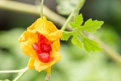ripe balsam apple on branch. Stock Photos