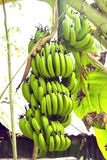 Ripe bananas branch Royalty Free Stock Photography