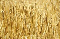 Ripe Barley Stock Photo