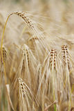 Ripe barley. Ears of barley in a field soon to be cropped (selective focus Royalty Free Stock Photo