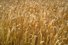 Ripe barley, background Royalty Free Stock Images