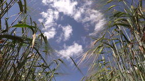 Ripe barley barleycorn plant crop ears move in wind stock video