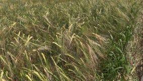 Ripe barley barleycorn plant crop ears move in wind stock video footage