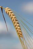 Ripe barley ear against blue sky stock image