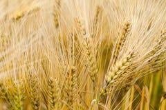 ripe Barley Royalty Free Stock Photography