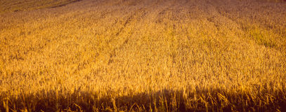 Free Ripe Barley Field Stock Photos - 84509503
