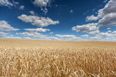 Ripe barley on the field Royalty Free Stock Images